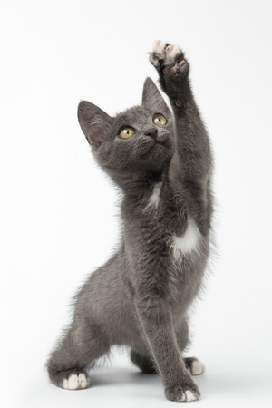 cute pussy: Playful Gray Kitty Raising Paw and Looking up on White Background Stock Photo
