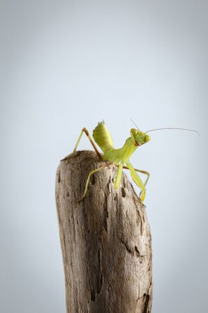devious: Closeup Green Praying Mantis on Stick. White background Stock Photo