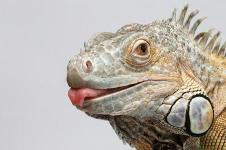 lagartija: Primer verde de la iguana mostrando la lengua en el fondo blanco Foto de archivo
