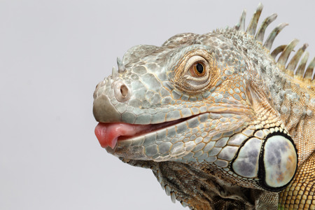 Closeup Green Iguana showing Tongue on White Background Archivio Fotografico