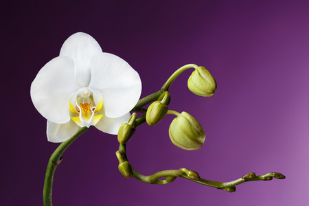 blooming. purple: Blossoming White Tropical Orchid on Purple Background