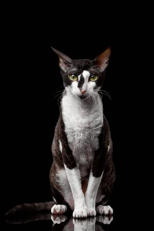 cornish rex: Portrait of Cornish Rex Sits and Looking in Camera Isolated on Black