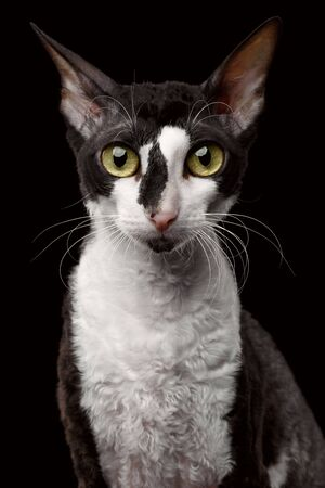 cornish: Portrait of Cornish Rex Looking in Camera Isolated on Black Background