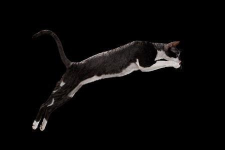 cute pussy: Jumping Cornish Rex Cat Isolated on Black Background Stock Photo