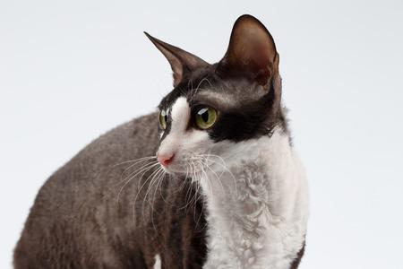 cornish rex: Closeup Portrait of Cornish Rex Cat on White Background