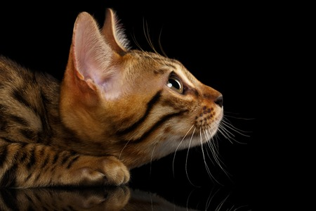crouching: Closeup Crouching Bengal Kitty in Profile View on Black Background Stock Photo