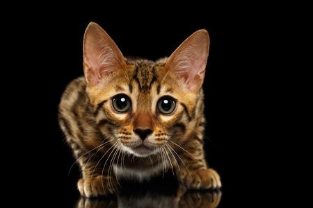 crouching: Closeup Crouching Bengal Kitty Isolated on Black Background