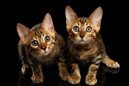 Two Bengal Kitty Looking in Camera on Black Background