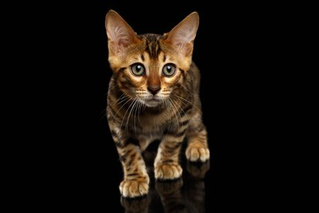 crouching: Crouching Bengal Kitty Isolated on Black Background