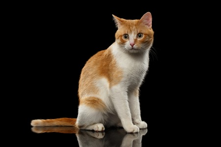 maine cat: Surprised Ginger Cat Sits on Black Mirror background