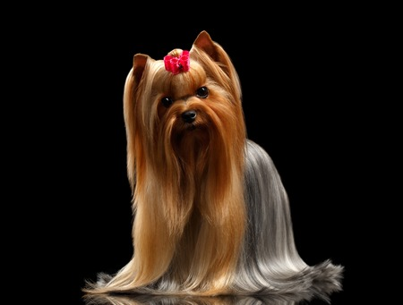 Yorkshire Terrier Dog with long groomed Hair Stands on black Mirror background Stock Photo