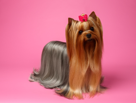 groomed: Yorkshire Terrier Dog with long groomed Hair Stands on Pink  background Stock Photo