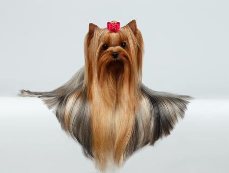 capelli lunghissimi: Yorkshire Terrier Dog con lunghi capelli curati Sdraiato su sfondo bianco Archivio Fotografico