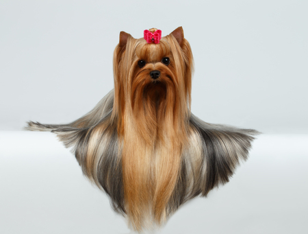 is long: Yorkshire Terrier Dog with long groomed Hair Lying on White background