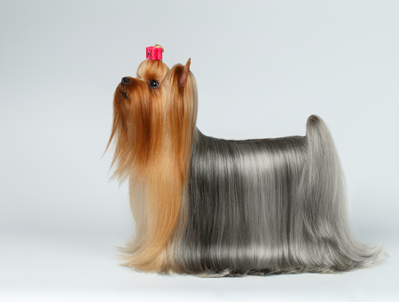 profil: Yorkshire Terrier Pies w widoku profilu patrząc na białym tle