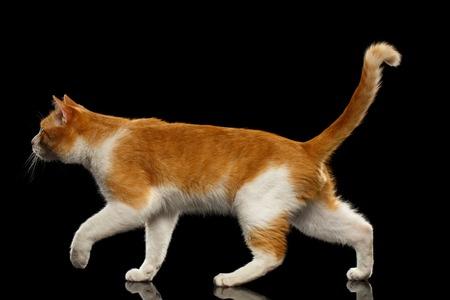 ブラック ミラーの背景に縦断ビューの薄茶色の猫を歩く