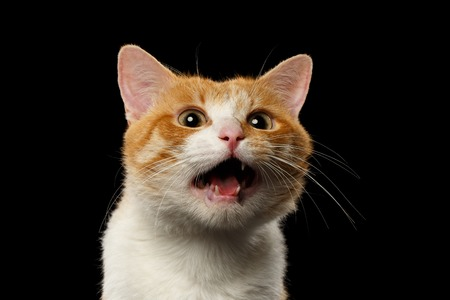 macro animals: Closeup Surprised Ginger Cat with opened Mouth on Black background