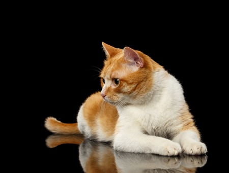 Lying Ginger Cat Surprised Looking at Left on Black Mirror background Stock Photo