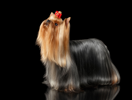 the stands: Yorkshire Terrier Dog Stands on Black Mirror background