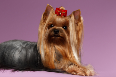 groomed: Yorkshire Terrier Dog with long groomed Hair Lying on Purple background