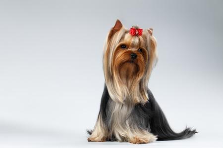 Yorkshire Terrier Hond met lange verzorgde haar zit op een witte achtergrond