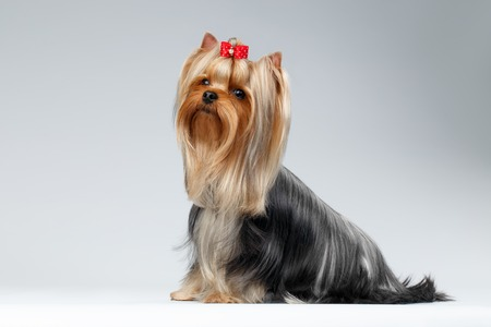 Yorkshire Terrier Dog with long groomed Hair Sits on white background