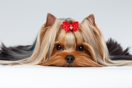 Closeup Portrait of Yorkshire Terrier Dog Lying on White background Stock Photo