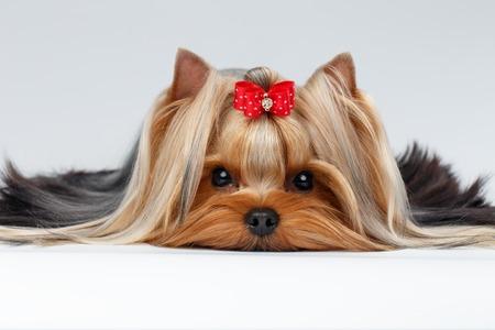 rozkošný: Detailním Portrét yorkshirský teriér pes leží na bílém pozadí Reklamní fotografie
