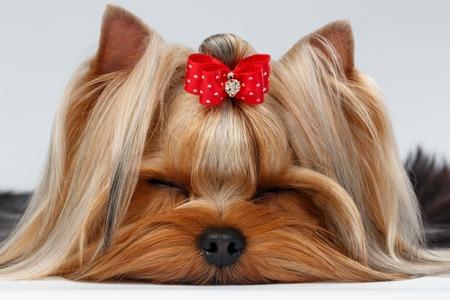 Close-up van Yorkshire Hond met gesloten ogen liggen op witte achtergrond Terrier