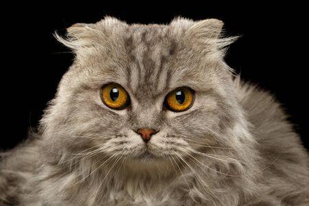 scotish: Closeup Highland Scotish Fold Cat on Black Background Stock Photo
