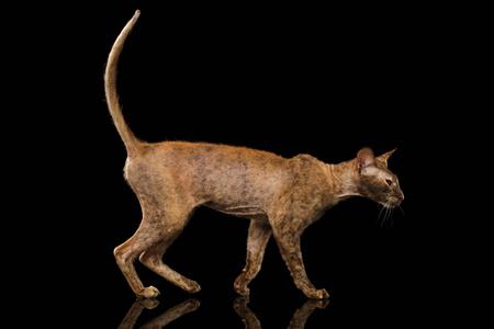 Peterbald Sphynx Cat Walking on Black Mirror background
