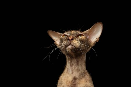 Closeup Peterbald Sphynx Cat Curiosity Looking on Black background Фото со стока