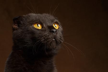 grumpy: Closeup portrait of Grumpy Black Cat on brown background