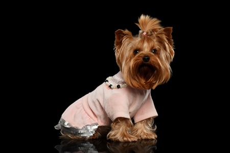 sits: Yorkshire Terrier Dog in Clothes Sits on Black Mirror background