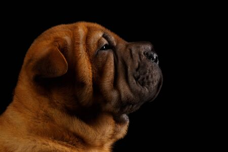 sharpei: Closeup Funny Sharpei Puppy in Profile Isolated on Black background Stock Photo
