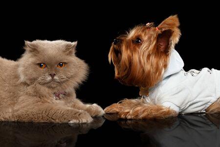 perro furioso: Escoc�s Gato y perro Yorkshire Terrier aislado en fondo Negro