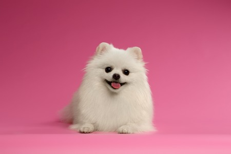 Closeup Portrait of small White Spitz Dog on Colored Background Фото со стока