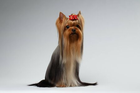 groomed: Groomed Yorkshire Terrier Dog Sits on White background