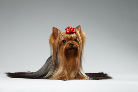 groomed: Groomed Yorkshire Terrier Dog Lying on White background