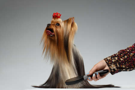dog grooming: Human Grooming a Happy Yorkshire Terrier Dog on White background Stock Photo