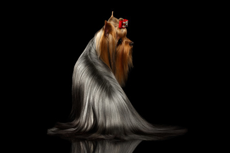 Yorkshire Terrier Dog with long groomed Sits on black background, Back View