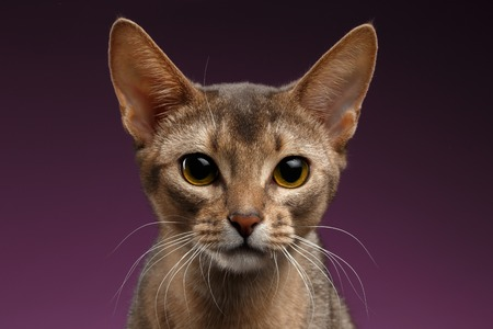 abyssinian cat: Close up Portrait of beautiful abyssinian Cat on purple Stock Photo