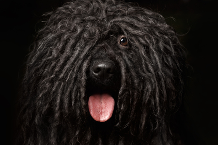 Close up Portrait of head Puli Dog isolated on Black Фото со стока