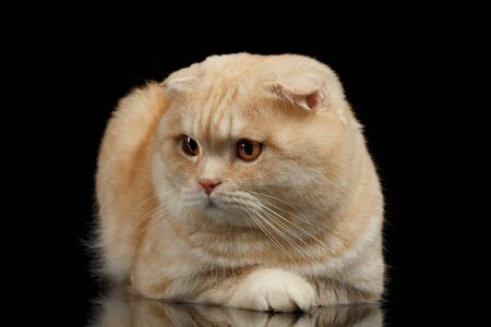 lies: Ginger Scottish Fold Cat Lies isolated on Black Background