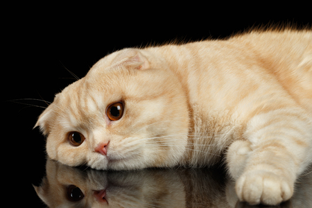Ginger Scottish Fold Cat Lies isolated on Black Background
