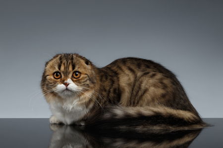 lies: Scottish Fold Cat Looking in Camera and Lies on Gray Background