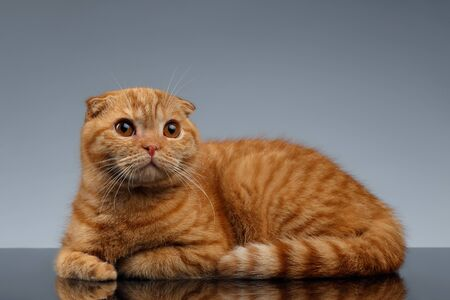 lies: Ginger Scottish Fold Cat Lies on Gray Background