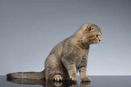 sits: Scottish Fold Cat Sits on Gray Mirror Background