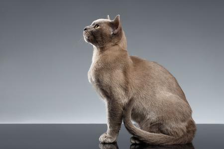 Burma Cat Sits and Looking up on Gray background, Profile view