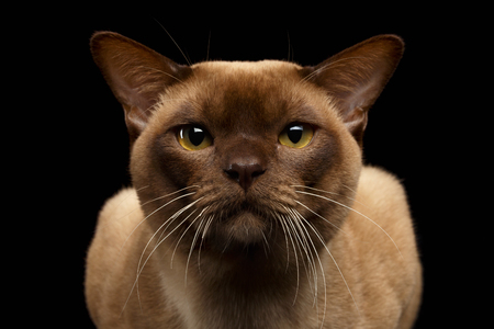 gaze: Closeup Portrait of Burma Cat with Gaze Looking in Camera on Black background